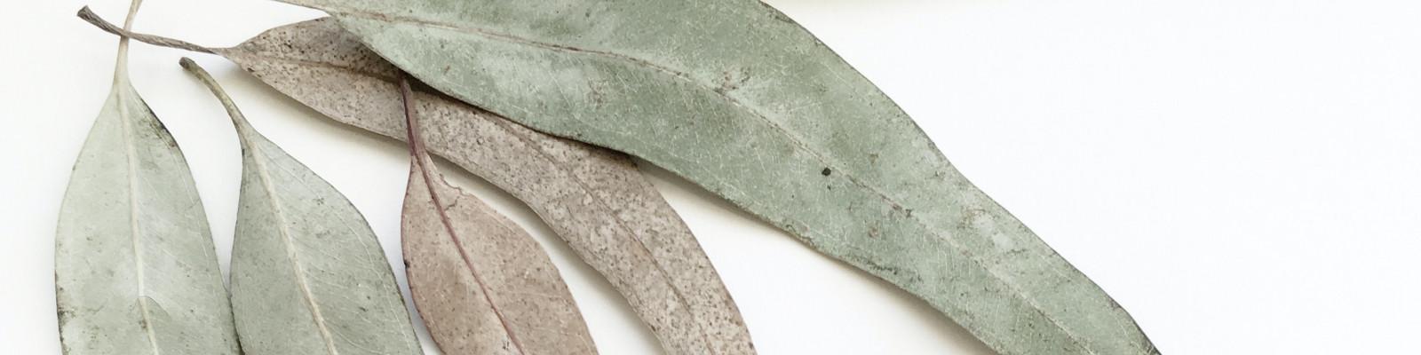Australian gim leaves